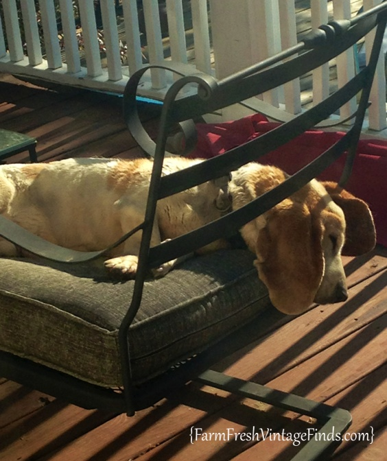 Barkley the Lazy Basset Hound