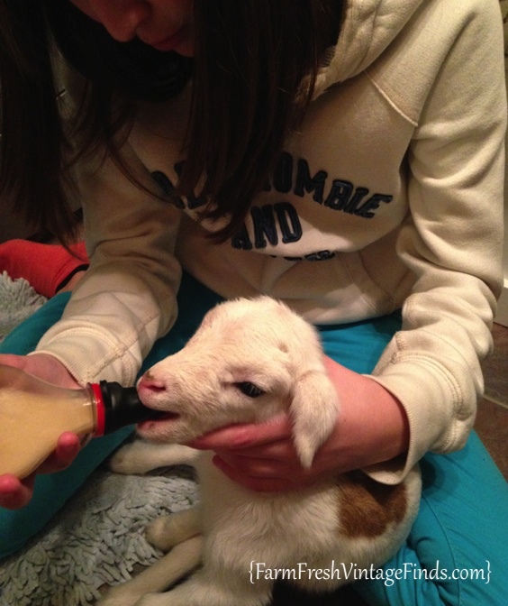 Bottle Feeding a Baby Lamb
